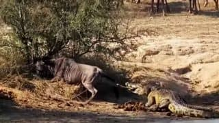 Wildebeest Gets Help From An Unexpected Source In His Fight With A Crocodile In This Viral Video