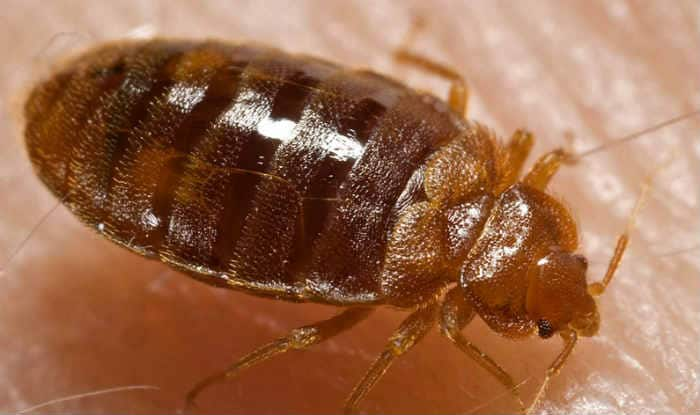 Bed Bugs Attracted To Body Odour In Dirty Laundry Tips Tricks And