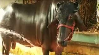 Haryana Animal Fair: Rs 25 Crore Bull 'Shahenshah', With 4 Bodyguards, Marks Its Attendance For Catwalk