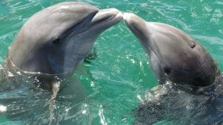 Humpback Male Dolphins Present Large Marine Sponges To Impress Females in a Romantic Gesture