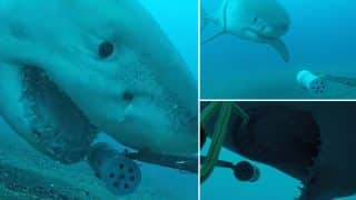 Astonishing Video Footage Of Great White Shark Captured By Massey University Scientists