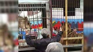 Horrific Video: Elderly Chinese Man Bitten by Tiger While Trying to Feed it With Bare Hands
