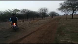 Gujarat: Men on Bikes Chase Lions in Gir, Bully Them; Forest Department Nabs 4; Watch Video