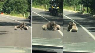 Two Koalas Wrestling In The Middle Of A Road In Australia Caused Traffic Jam That Everyone Loved: Watch Video