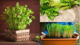 Indian Medicinal Plants: 5 Medicinal Herbs You Must Plant In Your Kitchen Garden