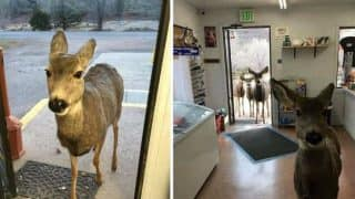 Female Deer Saunters in a Shop in Colorado With Her Entire Brood, Pictures Go Viral