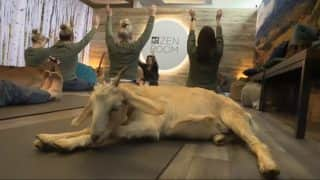 Passengers at Denver Airport in The United States Perform Goat Yoga (Video)