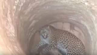 Leopard Stuck in 30-feet Deep Dry Well in Guwahati Rescued By Brave Vet; Video Goes Viral