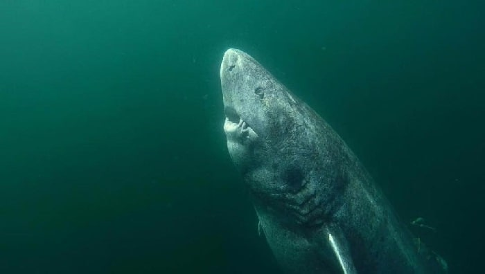 The Greenland shark could be the oldest living vertebrate in the world. (Image by Julius Nielsen Instagram/juniel85)