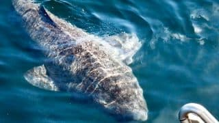 Greenland shark Found in North Atlantic Ocean Could be 512 Years Old (Pictures)