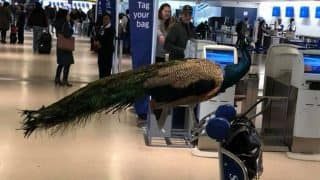 Woman Tries to Board United Airlines Flight With Her Peacock, Denied Entry (Video)