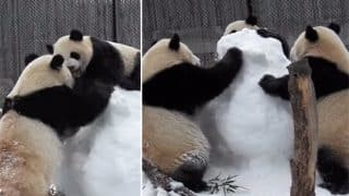 Three Giant Pandas Attack A Snowman In Toronto Zoo; Adorable Video Goes Viral