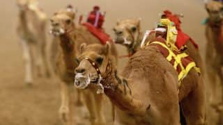 Twelve Camels Disqualified from Saudi Beauty Contest for Using Botox