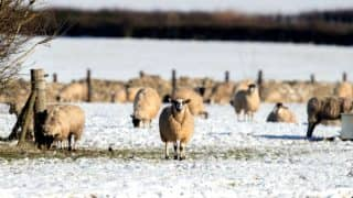 This Sheep is Addicted to Cigarettes And Eats Tobacco