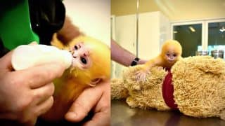 Orphaned Monkey Gets Stuffed Teddy Bear to Replace Its Mother, Photos Will Make You Teary-Eyed