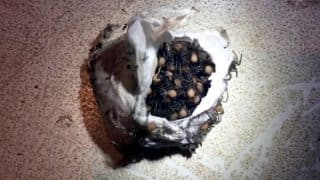Viral Video of Hundreds of Spider Babies Coming Out of an Egg Sack Will Give You The Creeps