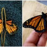 Costume Designer Repaired the Broken Wings of a Butterfly, Viral Videos and Pictures Show Stunning Transformation