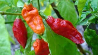 Manipur Scientist Produces Hottest Hybrid Chilli; Named 'Kishore's Fire Ball' To Signify Its Hotness