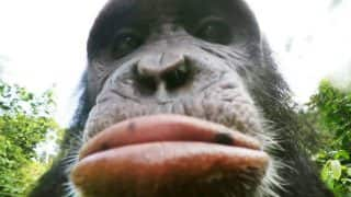 Chimpanzees in Cameroon Pout, Take Pictures of Rainforest After BBC Hands Them Cameras (Video)