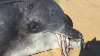 Octopus Chokes Dolphin To Death, Finds Australian University's Study