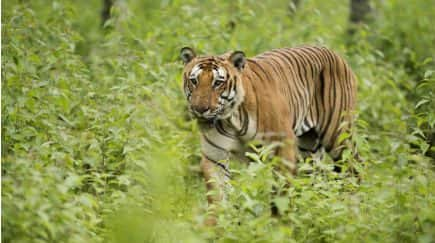 Three Tigers Spotted in Neora Valley National Park, West Bengal