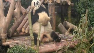 Giant Panda Cuddles Cub Even As He Tries to Escape The Hugs (Video)