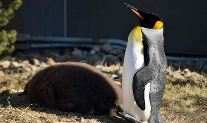 Dipping temperatures force Calgary zookeepers to move penguins inside