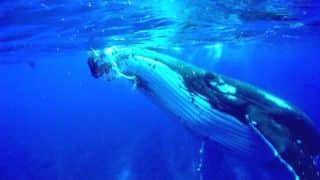 Giant Whale Protects Diver from Approaching Tiger Shark by Lifting Her Out of Water (Video)
