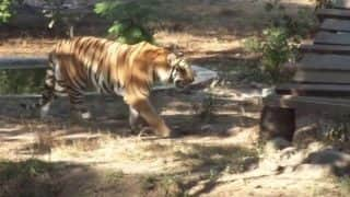 इंदौर के चिड़ियाघर में शेर के बड़े में कूदा युवक