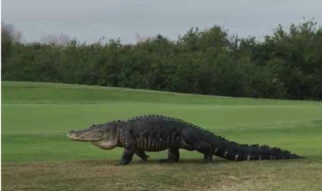 Watch Giant Alligator Casually Strolls Through Florida Golf Course Video India Com