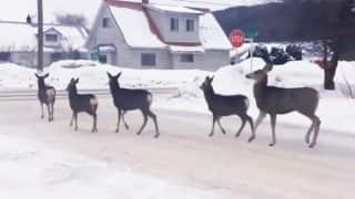 Viral Video Shows Deer Obeying Stop Sign in the Most Canadian Way, Watch