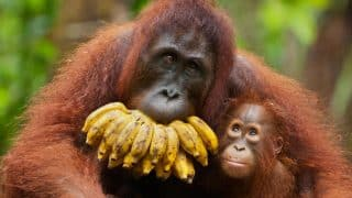 Orangutans Might Become Extinct as 100,000 Large Apes Have Been Killed in Last 16 Years