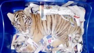Shocking: Royal Bengal Tiger Cub Found Stuffed Inside a Plastic Container in a Sedated State in Mexico