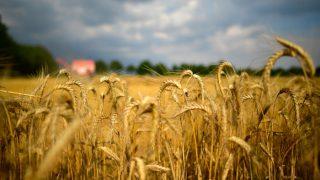 लॉकडाउन के बीच पंजाब में गेहूं के उत्पादन का नया रिकॉर्ड, इतने लाख टन की है उम्मीद