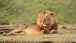 गुजरात के गिर जंगल में शेरों पर मंडरा रहा खतरा, दो साल में लगभग दो सौ की मौत