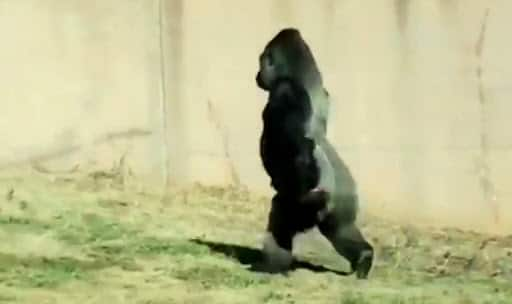 This sassy gorilla has been practicing his strut for zoo-goers