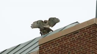 Hawk Love Triangle Makes Headlines in New York City, Twitterati is Highly Amused