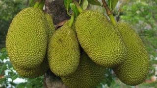 Why You Should be Eating Jackfruit Seeds