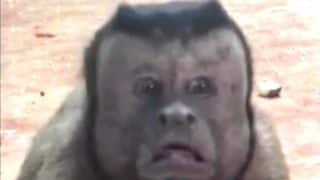 This Monkey Has a Human Face Which Looks Like a Distressed Man, Internet is going Crazy Over Him