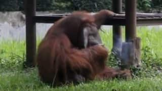 Orangutan Caught Smoking a Cigarette at Bandung Zoo in Indonesia; Shocking Video Goes Viral