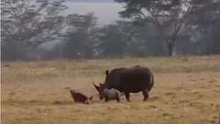 Mother Rhino Protects Her Tiny Baby By Chasing Away Hungry Hyenas in Kenya (Video)