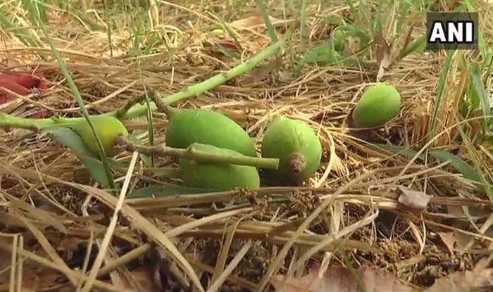 कानपुर में तेज आंधी-बारिश के कारण आम की फसल पर पड़ा है असर. (फोटोः एएनआई)
