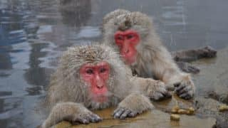 Not Only Humans, Snow Monkeys Also Use Hot Bath Therapy to Reduce Stress