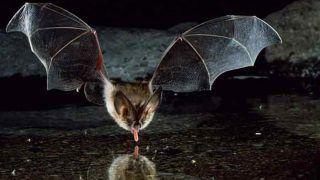 Nipah Virus: Fruit Bats Identified as Source of Deadly Disease That Created Havoc in Kerala's Kozhikode