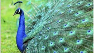 घर में क्यों रखते हैं मोर पंख, जानिए इससे आपके जीवन में क्या आता है बदलाव