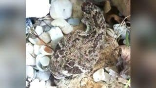 Texas Man Nearly Dies After Being Bitten by Venomous Severed Head of Rattlesnake; Read Details