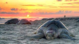 How To Reach Velas, Nesting Ground of Olive Ridley Turtles in Maharashtra's Ratnagiri District