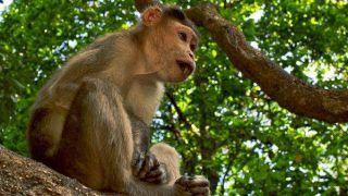 शामली में बंदर की गोली मारकर की गई हत्या, गरमाया साप्रदायिक माहौल