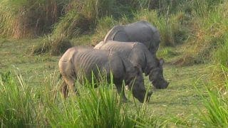 Viral Video: Over 20 Rhinos 'Chilling' at Kaziranga National Park During Lockdown | Watch