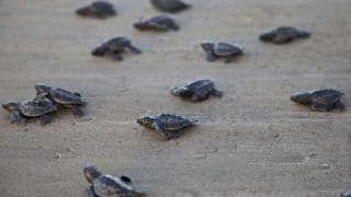 300 Endangered Turtles Found Dead on Mexico Beach